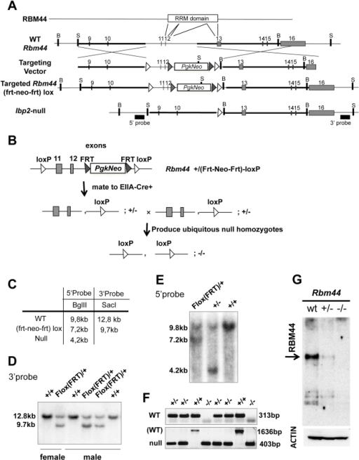 RBM44 targeted deletion in vivo.A, The strategy and conditional targeting vector to mutate the Rbm44 locus in ES cells and delete the RRM domain in mice: open white rectangle, PGK1-neomycin expression cassette; black arrowhead, frt sequence; open white arrowhead, loxP sequence; B, BglII site; S, SacI site. Exons 11 and 12 are deleted in Rbm44  mice. Southern probes are shown as black boxes. B, The mating strategy to generate a ubiquitous deletion of RBM44. C, The strategy to detect Rbm44 WT, targeted, and deleted alleles. D, Southern blot analysis using restriction enzyme SacI and 3′probe shows recombination of Rbm44 in targeted ES cells (wild-type allele, 12.8 kb; targeted Rbm44frt-neo-frt–loxP allele, 9.7 kb). E, Southern blot analysis using restriction enzyme BglII and 5′probe shows targeted deletion of Rbm44 in mice (wild-type allele, 9.8 kb; targeted Rbm44frt-neo-frt-loxP allele, 7.2 kb; Rbm44  allele, 4.2 kb). F, PCR genotyping of Rbm44  mice. (WT, 313 bp; WT in bottom panel, 1636 bp; , 403 bp). G, Western blot analyses of total testis extracts of wild-type (WT), Rbm44 heterozygous (Rbm44+/−), and  (Rbm44−/−) mice using anti-RBM44 antibody generated against amino acids 471–609 (N-terminal of the deletion) and anti-ACTIN antibody for a control.