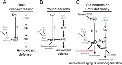 Bmi1 deficiency during aging influences neurons resistance to genotoxic stresses and mitochondrial dysfunctions.Proposed model of Bmi1 function in neurons: (A) When over-expressed, Bmi1 represses p53 activity by an unknown mechanism, leading to complete inhibition of p53 pro-apoptotic and pro-oxidant activities and supra-activation of the antioxidant defense system. (B) In young neurons, where Bmi1 expression is robust, Bmi1 partially represses p53 activity, thus allowing modulation of p53-mediated apoptosis and repression of antioxidant response elements (ARE). These elements are present in antioxidant-coding genes activated by the Nrf2 transcription factor. (C) In aging neurons, where Bmi1 expression becomes deficient, p53 is activated (1), leading to induction of apoptosis and inflammation, and in transcriptional repression of antioxidant-coding genes (2). Elevated mitochondrial reactive oxygen species (mROS) concentrations ultimately induce damages to lipids and DNA, which further activate p53 (3), resulting in the formation of a vicious circle. This situation renders old neurons particularly more vulnerable to genotoxic stresses (gs) and mitochondrial dysfunctions. This model is based on data from the present work, and those published previously [20].