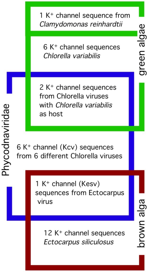 Minimal sequence set to test molecular piracy hypothesis. Seven sequences of K+ channels are from different phycodnaviruses.Six of them replicate in specific species of green algae. C. variabilis is a host for two of these viruses. The seventh phycodnavirus infects E. siliculosus, a brown alga, which is only distantly related to the green algae. The viral channels are compared to putative K+ channels from hosts and non-hosts. The host channels include all 7 K+ channels from C. variabilis and all 12 K+ channels from E. siliculosus. A K+ channel sequence from the green alga C. reinhardtii, a non-host of phycodnaviruses and a close relative of Chlorella served as a negative control.