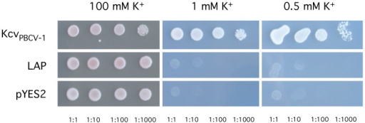Growth phenotype ΔtrkΔtrk2 mutants transformed with different genes.Yeast cells were transformed with either an empty vector or with genes encoding viral K+ channel Kcv, or the protein LAP from L. alexandrii DFL-11. All yeasts were grown on non-selective medium containing either 100 mM K+ or lesser amounts. Only yeast transformed with KcvPBCV-1 grew on selective medium with low 0.5 mM and 1 mM K+ concentrations.