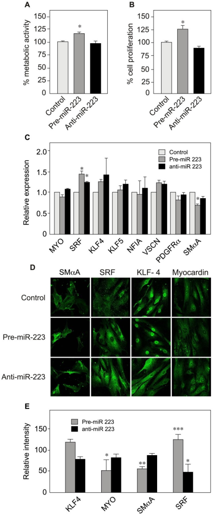 Effect of miR-223 up- and downregulation on VSMC proliferation, cytoskeleton size and marker gene expression.To upregulate and knock-down the expression of miR-223, VSMCs were transfected using pre-miR-223 and anti-miR-223, respectively. After 48h of transfection, cells were assayed for metabolic activity (A), cell proliferation (B) and marker gene expression levels (with RT-qPCR) (C). Data are presented as the mean ± SD of triplicates. One representative experiment is shown (n = 2). (D) Immunostaining of VSMC protein markers. (E) Quantification of the immunofluorescence data from Fig. 4D. Data are presented as the mean ± SD relative to the control (scrambled RNA, set at 100%) (KLF4 n = 12, MYO n = 11, SMαA n = 5, SRF n = 8). See Fig. 2 for abbreviations.