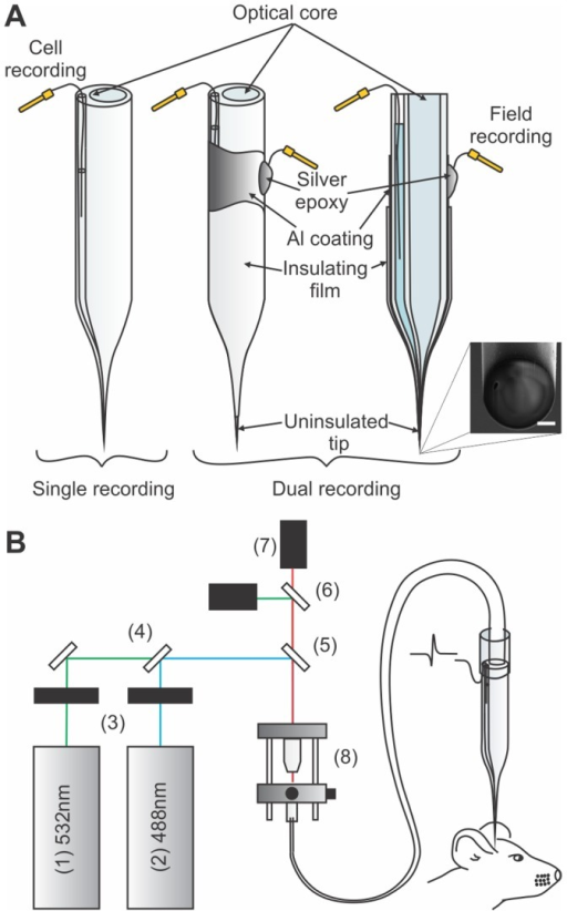 Optical and electrical microprobes.a) Schematic representation of the probe (left) and a metal coated probe adapted to achieve large field recording through the Al coating (middle: 3D representation, right: transverse cut view). Insets are scanning electron microscopy images of the respective electrode tips (scale bars are 2 µm). b) Experimental setup for multispectral detection showing : (1) 543 nm laser (25-LGR-193-249, Melles Griot), (2) 488 nm laser (FCD488 24 mW, JDS Uniphase Corporation), (3) shutters (LS3,Uniblitz), (4) 495 nm dichroic mirror (495DCLP, Chroma Technology Corporation), (5) multiline dichroic mirror (51015bs, Chroma Technology Corporation), (6) 495 nm dichroic mirror (495DCLP, Chroma Technology Corporation), (7) PMT detectors (H6780-20, Hamamatsu) and bandpass filters (ET520/40M and ET005/52M, Chroma Technology Corporation) and (8) objective (UIS-2 Plan-N, NA = 0.25, Olympus Corporation) and the fibre optic launch system (KT110, Thorlabs Inc.).