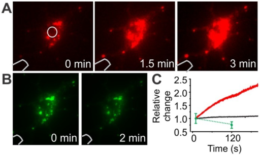 Photoconversion of mEOS.A–B) Images at different time points of a mEOS2 expressing cell during UV-induced photoconversion. UV illumination with the probe causes an increase in red fluorescence (A) and a decrease in green signal (B). C) Red and green emission of a cell during photo-conversion as a function of time. The region of interest taken into account is shown in (A) (white circle). Note that only two time points were measured for the green signal. Change in background fluorescence around the cell is shown in black.