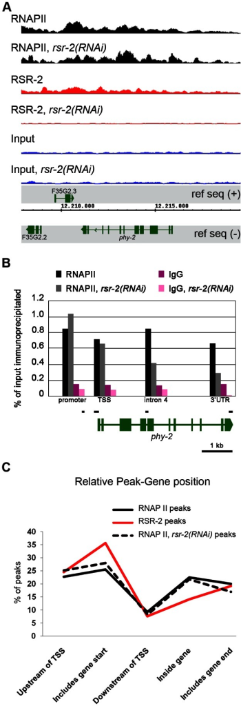 RSR-2 is associated with chromatin and modifies RNAPII distribution.(A) Snapshot of the genome browser (chromosome IV) showing ChIP-Seq data. Chromatin-binding profiles of RNAPII and RSR-2 are similar. RNAPII peaks are represented in black, RSR-2 peaks are represented in red, and input samples are represented in blue. Upon rsr-2 RNAi, the RNAPII peak profile at phy-2 locus shifts from the 3′ to the 5′end. RSR-2 peaks disappear upon rsr-2 RNAi. Data was visualized with the Integrated Genome Browser (IGB) software. (B) ChIP-qPCR showing how RNAPII occupancy changes upon rsr-2 RNAi at the phy-2 locus. Black bars are a scaled representation of the regions covered by the primer pairs used in this experiment. (C) Distribution of RNAPII and RSR-2 ChIP peaks along five zones within an averaged gene. Statistically called peaks from a single ChIP-Seq experiment were classified with respect to their position relative to the nearest TSS. Y axis indicates the frequency of peaks within each zone. rsr-2 RNAi slightly modifies the distribution of RNAPII along an averaged gene.