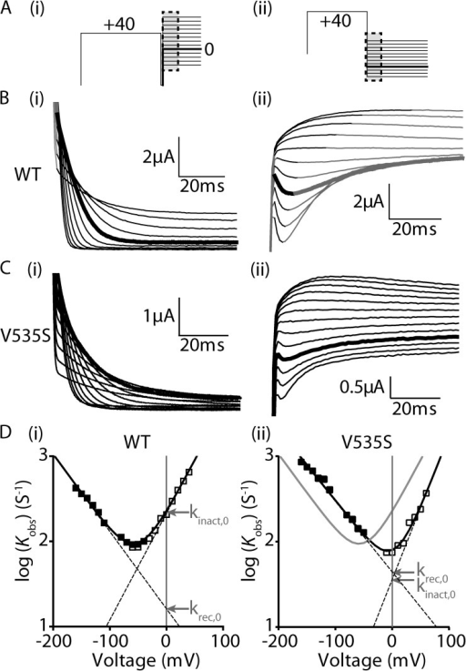 Measurement of inactivation kinetics for WT and V535S Kv11.1 channels. (A) Voltage protocols used to measure the rates of onset of inactivation (i) and the rates of recovery from inactivation (ii), with key regions for the measurement of current highlighted in black. (B and C) Representative families of current traces measuring the rates of onset of inactivation (i) and rates of recovery from inactivation (ii) for WT (B) and V535S (C) Kv11.1 channels. Highlighted in bold are current traces at 0 mV (i) and −130 mV (ii) to aid comparison. (D) Chevron plots of the logarithm of the observed rates for onset of (open squares) and recovery from (closed squares) inactivation for WT (i) and V535S (ii) channels, plotted against voltage. Solid black lines are a fit of Eq. 1 (see Materials and methods), whereas the solid gray line in (ii) indicates kobs,V for WT channels to aid comparison. Dashed lines indicate the derived unidirectional rate constants for the onset of (kinact,V) and recovery from (krec,V) inactivation, with values at 0 mV indicated by arrows. The equilibrium constant for inactivation (Keq) at 0 mV was calculated by: Keq,0 = kinact,0/krec,0 (Eq. 2 in Materials and methods).