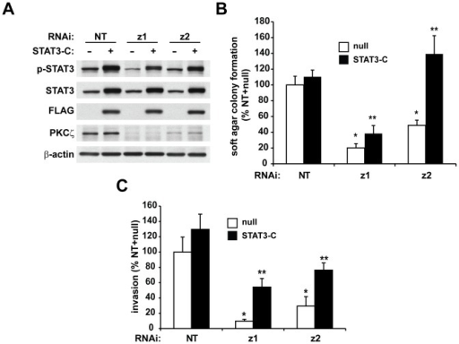 Constitutively active STAT3 rescues the transformed phenotype in PKCζ RNAi-expressing cells.Panc-1 cells expressing NT or PKCζ RNAi were infected with adenoviral constructs expressing either  (control), or constitutively active, FLAG-tagged STAT3 (STAT3-C). A) Immunoblot analysis of p-STAT3, STAT3, FLAG, PKCζ and β-actin expression. Cells were assessed for B) anchorage-independent growth in soft agar and C) cellular invasion through Matrigel-coated chambers. For each graph: Bars = average of 3 or more replicates±SD and graph is representative of 2 or more independent experiments. *significantly reduced compared to NT/, p<0.05; **significantly increased compared to -treated, p<0.05.