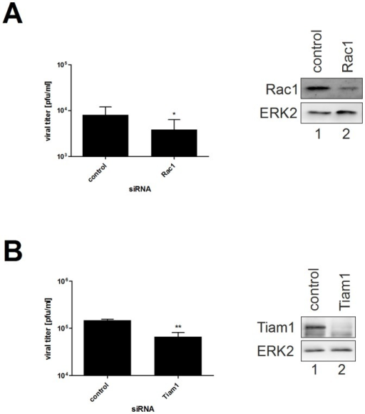 The siRNA mediated knockdown of Rac1 or Tiam1 leads to impaired viral replication.A549 cells were transfected with non-silencing control siRNA or siRNA against Rac1 (A) or Tiam1 (B) for 72 or 48 h, respectively. Thereafter, cells were infected with A/Puerto-Rico/8/34 rec. (moi = 0.01) for 24 h. Progeny virus yields were determined by plaque assays. Data represent means ± SD of three independent experiments including two biological samples. Statistical significance was evaluated by Student's t-test (* p<0.05; ** p<0.01). Efficient knockdown of Rac1 or Tiam1 was determined in Western blot analysis using specific antibodies against Rac1 or Tiam1, respectively. Detection of ERK2 served as a loading control.