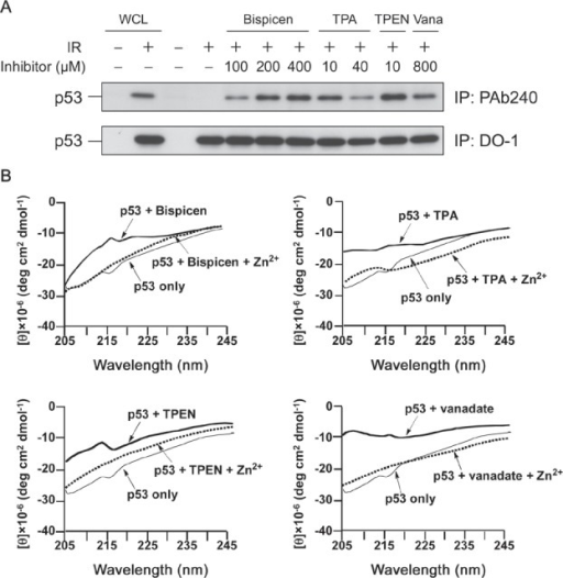 Bispicen induces the denaturation of p53 in a dose-dependent mannerA. Immunoprecipitation (IP) was performed as in Figure 1 using anti-p53 PAb 240 mAb (upper panel) and DO-1 mAb (lower panel). MOLT-4 cells were 10 Gy-irradiated and treated with the indicated concentrations of chelators or vanadate (Vana), and then harvested at 6 h after IR. Loading of IP samples from the irradiated cells was normalized for the equal amount of DO-1-immunoprecipitated p53. Whole cell lysate (WCL) from unirradiated (1st lane) or 10 Gy-irradiated (2nd lane) MOLT-4 cells cultured for 6 h were used, respectively, as the negative and positive controls for p53. The p53 from WCLs (lanes 1 and 2) and the immunoprecipitated p53 (lanes 3 to 11) was visualized by immunoblotting using anti-p53 DO-1 mAb. B. CD spectra of recombinant FLAG-p53 (20 nM) in PBS buffer (pH 7.4) in the absence and presence of zinc (II) chelators or vanadate (2 µM each) and Zn2+ (20 µM) at 25 °C.