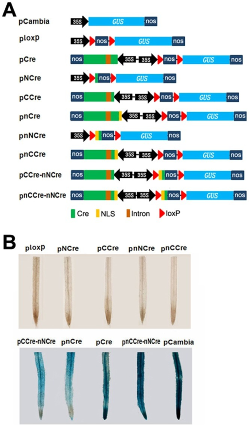 "The in vivo recombination of split-Cre protein and the deletions determined by GUS activity.A: Digram of plant expression vectors. pCambia refer to vector of pCambia1305.1. B: GUS staining of transgenic hair roots for each transformant. ""n"" represents nuclear localization signal. The following are all the same."