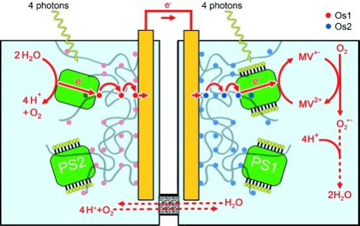 Representation of the proposed biophotovoltaic cell combining a PS2-based photoanode and a PS1-based photocathode. Upon absorption of photons, water molecules are split into electrons and protons. The electrons are transferred to the cathodic half-cell via the outer circuit, where PS1 generates a reductive force of −580 mV vs. SHE and reduces the electron acceptor (methyl viologen). The methyl viologen radical cation is re-oxidized by molecular oxygen, resulting in water as final product.