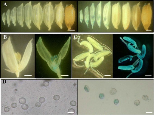GUS activities in the URS::GUStransgenic plants for the gene with locus nameLOC_Os03g11350. (A) Different stages of rice florets/seeds. (B) Enlarged rice florets. (C) Enlarged rice young anthers. (D) Pollen at the uni-nucleate stage. In (A) to (D), left and right images were from WT and the transgenic plants, respectively. Bars: 1 mm in (A) to (C) and 50 μm in (D).