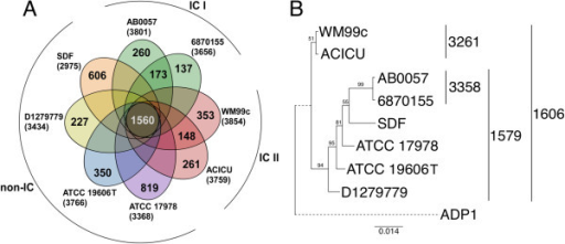 Genomic diversity amongAcinetobacterstrains. (A) Partial Venn diagram. Each A. baumannii strain is depicted by an oval colored according to IC designation. Numbers presented in overlapping regions of the ovals show the number of genes shared by that group of strains. For example, the core genome size shown in the center, where all ovals overlap, is 1560 ORFs. Numbers in the non-overlapping regions show the number of genes unique to that strain. (B) Phylogenetic tree based on a concatenated alignment of the core housekeeping genes cpn60, fusA, gltA, pyrG, recA, rplB and rpoB in the strains under investigation. A. baylyi ADP1 (GenBank; CR543861) was used as an outgroup and the dotted line used in the ADP1 branch indicates a branch length greater than that shown. Numbers to the right of the tree show the size of the total number of conserved ORFs (the core genome) in the set of strains indicated.