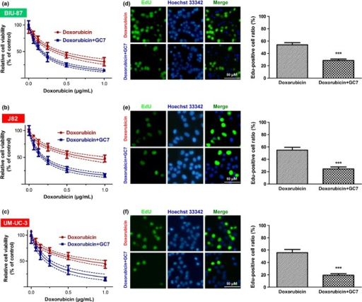 Cytotoxicity of doxorubicin or doxorubicin plus N1-guanyl-1,7-diaminoheptane (GC7) in bladder cancer cells. GC7 (50 μM) significantly enhanced the cytotoxicity of doxorubicin in BIU-87 (a), J82 (b), and UM-UC-3 (c) cells. Solid and dashed lines denote the best fit and 95% confidence intervals, respectively, of the different treatments. Photomicrographs and bar charts depict the 5-ethynyl-2′-deoxyuridine (EdU) staining pattern and relative EdU-positive ratio, respectively, of BIU-87 (d), J82 (e), and UM-UC-3 (f) cells after 48 h of treatment with doxorubicin or doxorubicin plus GC7. ***P < 0.001.