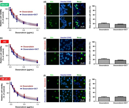 Cytotoxicity of doxorubicin or doxorubicin plus N1-guanyl-1,7-diaminoheptane (GC7) in eukaryotic translation initiation factor 5A2 (eIF5A2) siRNA-transfected bladder cancer cells. Knockdown of eIF5A2 reduced the synergistic effect of GC7 plus doxorubicin in BIU-87 (a), J82 (b), and UM-UC-3 (c) cells. Solid and dashed lines denote the best fit and 95% confidence intervals, respectively, of the different treatments. Bonferroni's post-hoc test revealed no significant difference (P > 0.05 for doxorubicin versus doxorubicin plus GC7). Photomicrographs and bar charts depict the 5-ethynyl-2′-deoxyuridine (EdU) staining pattern and relative EdU-positive ratio, respectively, of eIF5A2 siRNA-transfected BIU-87 (d), J82 (e), and UM-UC-3 (f) cells after 48 h of treatment with doxorubicin or doxorubicin plus GC7.
