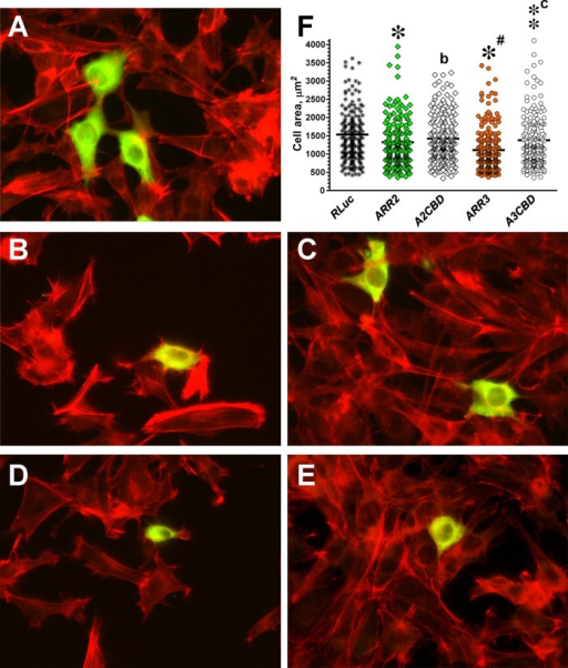 Arrestin interaction with clathrin contributes to arrestin-dependent regulation of cell morphology. (A–E) Representative images of DKO cells expressing HA-tagged arrestin stained with anti-HA antibodies (green) and rhodamine–phalloidin (red). (A) Control DKO MEFs transfected with HA-Rluc. (B) DKO MEFs transfected with WT arrestin-2. (C) DKO MEFs expressing clathrin binding–deficient A2CBD mutant. (D) DKO MEFs expressing WT arrestin-3. (E) DKO MEFS expressing A3CBD mutant. (F) Scatter plot showing the results of cell size analysis. The horizontal bars represent the medians. The cell size data were analyzed by Kruskal–Wallis analysis of variance, followed by posthoc pairwise comparison by Mann–Whitney test with Bonferroni correction for multiple comparisons. Data are from ∼200 cells/condition from four independent experiments. *p < 0.001, **p < 0.01; *p < 0.05, as compared with cells expressing RLuc; ap < 0.05; cp < 0.001, as compared with cells expressing corresponding WT arrestins.