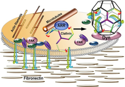 Model of the mechanism of focal adhesion disassembly. Focal adhesions are multiprotein complexes organized around clustered active integrins that bind extracellular matrix (shown as fibronectin). FAs are connected to actin filaments and include numerous structural and signaling proteins, such as talin, vinculin, paxillin, focal adhesion kinase (FAK), and so on. FAs are very dynamic, and their disassembly is facilitated by the proximity of microtubules and triggered by clathrin-dependent internalization of integrins. Our data suggest that nonvisual arrestins, known to interact with both microtubules and clathrin, serve as a link between the two, being delivered together with associated clathrin by microtubules to FAs. The delivery of arrestin-bound clathrin to FAs facilitates integrin internalization via clathrin-coated pits (with the help of dynamin, which pinches coated vesicles off of the membrane) and thus FA disassembly.