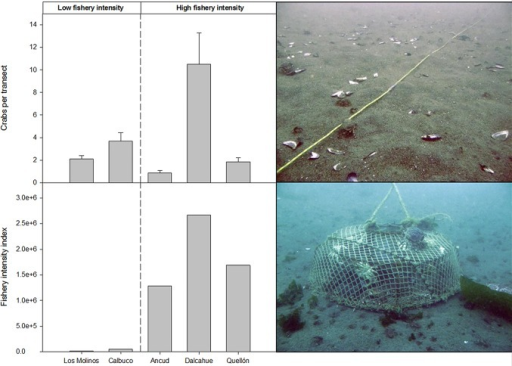 Upper panel: Abundance of legal sized crabs (>110 mm of carapace width) by locality, all seasons and transects pooled (n = 20), bars representing standard errors; picture showing a 15-m dive transect.Lower panel: Fishery intensity index by locality (see details in text) and picture showing the typical crab trap used to catch M. edwardsii in southern Chile.