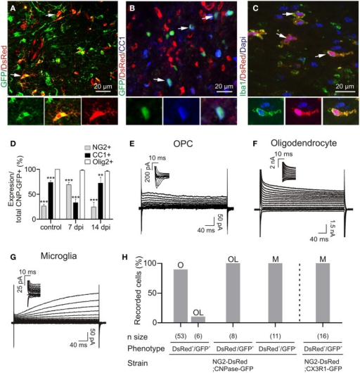 Immuno-characterization and electrophysiological properties of OPCs, oligodendrocytes and microglia in transgenic lines following demyelination. (A) OPCs were identified as DsRed+/GFP+ cells (arrows) in the NG2-DsRed;CNPase-GFP double transgenic mouse. (B) Mature oligodendrocytes were identified as CC1+ cells (blue) and also expressed GFP (arrows) but not DsRed. (C) Iba1+ resident microglia/macrophage expressing DsRed in the NG2-DsRed mouse strain. (D) Bar plot showing the percentage of NG2+ and CC1+ cells within control and lesioned corpus callosum in CNPase-GFP animals (N = 3 mice). (E) Currents elicited by voltage steps from +40 mV to −120 mV in a DsRed+/GFP+ OPC. held at −90 mV and recorded inside a lesion. Note the presence of INa+ (inset). (F) Currents induced by voltage steps from +40 mV to −120 mV in a DsRed−/GFP+ oligodendrocyte at 14 dpi held at −90 mV. (G) Currents induced by voltage steps from +40 mV to −120 mV in a DsRed+/GFP− microglia held at −90 mV. Note the absence of INa+ (inset). We confirmed that DsRed was expressed in activated microglia inside lesions by crossing NG2-DsRed line with the CX3CR1-EGFP strain in which microglia/macrophages express GFP (see Figure 1H) (Avignone et al., 2008). (H) Bar plot for the proportion of OPCs (O), microglia (M) and oligodendrocytes (OL) identified by their electrophysiological profiles and recorded in different mouse strains following demyelination. Scale bars for insets: 10 μm. **p < 0.01, ***p < 0.001 respect to Olig2 expression.