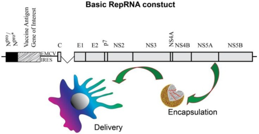 The basic RepRNA construct ensures efficient translation of the encoded vaccine antigen of interest, as well as replication of the replicon. Insertion of an internal ribosomal entry site (IRES) from, for example, EMC virus ensures that translation of the proteins for replication continues after translation of the vaccine antigen of interest.