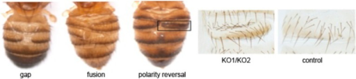 Phenotype classification.Images showing the three classes of defect: gaps, or lack of tissue; fusion, and polarity reversal. Right panels show higher magnification views of the bristle pattern to illustrate the polarity reversal phenotype. Refers to Figure 1E.DOI:http://dx.doi.org/10.7554/eLife.07389.005
