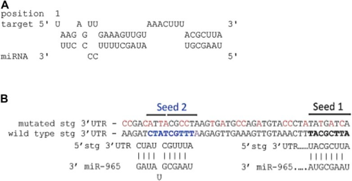 (A) Predicted miR-965 sites in the string 3′UTR.Based on the potential for strong 3′ pairing in the Seed 1 mutant (shown in Figure 4D), as well as the presence of a second nearby non-canonical seed match (seed 2), a more extensively mutated UTR was made to eliminate pairing to both potential sites. Nucleotides mutated are shown in red. Refers to Figure 4D. (B) Structure of the miR-965 site in the string 3′ UTR, as predicted by RNAHybrid (http://bibiserv.techfak.uni---bielefeld.de/).DOI:http://dx.doi.org/10.7554/eLife.07389.020