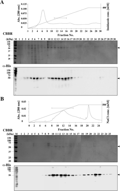Purification of hmPRα protein by Ni-NTA and amino cellulose column chromatography.(A) Chromatogram and the SDS-PAGE and the western blot analysis results of the Ni-NTA column chromatography fractions obtained from the first purification step. (B) Chromatogram and the SDS-PAGE and western blot analysis results from the Cellufine Amino column chromatography conducted as the second purification step. The elution profile was monitored by absorbance at 280 nm. The horizontal bars in the chromatogram represent the fractions collected for further steps.