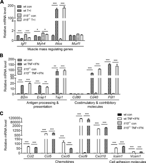 IL-15 deficiency does not affect the responses of primary myotube to TNF-α and IFN-γ stimulation. a–c Expression profiling of genes involved in the regulation of skeletal muscle mass and immune system in wt and Il15−/− primary myotubes. Samples were collected 24 h after TNF-α and IFN-γ treatment and analyzed by qPCR. Data are mean ± SEM of triplicates. Data are representative of two independent experiments with similar results. *p < 0.05, **p < 0.01, ***p < 0.001