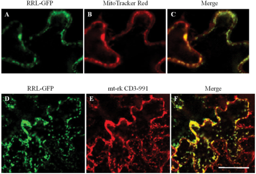 Mitochondrial localization of the RRL–GFP fusion protein. (A–C) Subcellular localization of RRL–GFP fusion protein in leaf epidermal cells of Arabidopsis. (A) RRL–GFP, (B) MitoTracker Red staining, (C) co-localization of RRL–GFP and MitoTracker Red. Scale bar=10 μm. (D–F) Subcellular localization of RRL–GFP fusion protein in leaf epidermal cells of tobacco. (D) RRL–GFP, (E) mt-rk CD3-991 (a mitochondrial marker). (F) The overlay image (merge) shows co-localization of RRL–GFP and the mitochondria marker. Scale bar=30 μm. (This figure is available in colour at JXB online.)