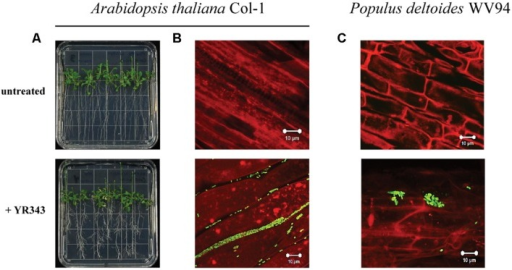 Colonization of plant roots by Pantoea sp. YR343. (A)Arabidopsis thaliana plants were grown on MS plates in the absence or presence of Pantoea sp. YR343 for 10 days prior to imaging. (B) Corresponding to the pictures in (A) are images of roots taken with confocal microscopy. The image on top shows roots from an uninoculated plant, while the bottom image shows roots colonized by YR343-pGFP. (C)Populus deltoides WV94 cuttings were grown in the presence or absence of Panteoa sp. YR343 expressing GFP. (Top) untreated P. deltoides WV94 plant; (bottom) P. deltoides WV94 cultured with YR343-pGFP for 7 days. In all images, Pantoea sp. YR343 is detected by GFP fluorescence (green) and plant roots are detected using autofluorescence (red).
