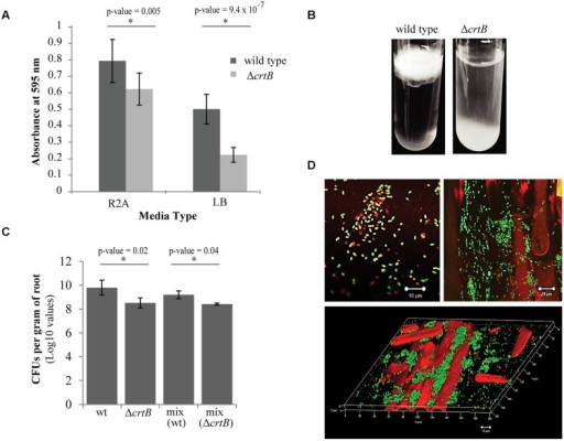 Loss of carotenoids affects biofilm formation and root colonization. (A) Comparison of biofilm formation between wild type Pantoea sp. YR343 and the ΔcrtB mutant in plastic 96-well plates measured by the crystal violet assay (B) Pellicle formation assay performed in SOBG medium in glass test tubes. Wild type Pantoea sp. YR343 forms pellicles on top of the liquid medium, while the ΔcrtB mutant settles to the bottom of the tube. (C) Wheat root colonization assay by wild type Pantoea sp. YR343 and ΔcrtB is described as the Log10 value of colony forming units (CFUs) per gram of root material. (D) Images of wheat roots treated with YR343-GFP and ΔcrtB for 1 week and stained with Syto61. Top left image shows a group of motile cells outside of the plant. Green represents the wild type population, while red represents the ΔcrtB mutant population. Top right image shows a wheat root (visualized using autofluorescence in the red channel) colonized predominantly by wild typeYR343-GFP (green). Bottom image shows a three-dimensional view of a colonized wheat root.