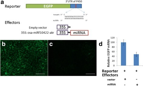 The effects of osa-miRf10422-akrexpression on the accumulation of the CYP704A3 gene. The schematic representation of the reporters and the effectors used in this assay is shown in (a). GFP fluorescence images of the co-expression of osa-miRf10422-akr with the reporter gene EGFP, which was fused with the empty vector control (b) and miRNA target region in the 3′-UTR of the CYP704A3 gene (c). Fluorescence imaging analysis of the agroinfiltrated leaves at 2 dpi under UV illumination. Quantitation of EGFP mRNA as averaged from three leaves from each infiltration treatment (d)