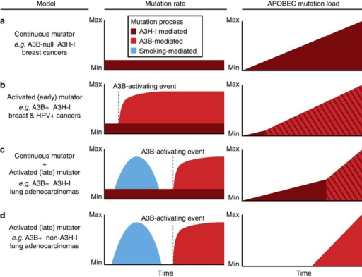 Models for differential APOBEC mutation accumulation in cancer.The far left column describes the A3B and A3H-I genotypes of each model as well as examples of relevant tumour types. The middle columns show the average mutation rate over time for each model with sources of mutations highlighted in different colours, smoking (blue), A3B (red) and A3H-I (maroon). The far right column depicts the accumulation of somatic APOBEC signature mutations over time, with mutations mediated by A3B and A3H-I represented in red and maroon, respectively. Somatic mutations from both APOBEC3 enzymes are shown as red/maroon diagonal stripes to highlight that these mutations are not easily distinguishable. (a) The continuous mutator model depicts constant A3H-I mediated mutagenesis and subsequent accumulation of APOBEC-signature mutations over time in the absence of A3B as may be occurring in some breast cancers. (b) The activated (early) mutator model depicts a rapid increase in A3B-mediated mutations and APOBEC signature mutations after an A3B-activating event such as HPV-infection in cervical cancers or a currently unknown mechanism in breast cancers. (c) The continuous mutator plus activated (late) mutator model depicts the constant accumulation of APOBEC-signature mutations mediated by A3H-I as shown in a. For contrast, the distinct contribution from smoking-mediated mutagenesis (blue) is shown as an early finite time period. Late activation of A3B then leads to a more rapid accumulation of APOBEC signature mutations over time effectively eclipsing the A3H-I contribution. (d) The activated (late) mutator model is nearly identical to the model shown in c, however the absence of A3H-I results in no early APOBEC-signature mutations as may be occurring in some lung adenocarcinomas.