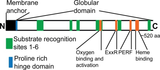 Conserved CYP domains relevant to functional analysis.Scale diagram of the domains of a CYP class II. The signature domains common in most CYPs are shown in orange. Green boxes indicate the more variable substrate recognition sites. Black and blue indicate the membrane anchor and proline rich hinge domains.