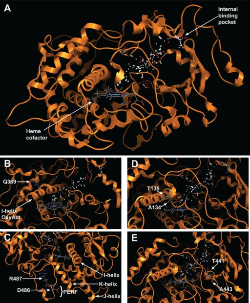 Homology model of CYP72A13 with the predicted substrate binding region highlighted with spheres above the heme cofactor.(A) Cartoon structure model showing typical CYP helices folded around the heme and an internal binding pocket. (B) Oxygen activation domain. (C) PERF domain. (D) SRS1. (E) SRS5.