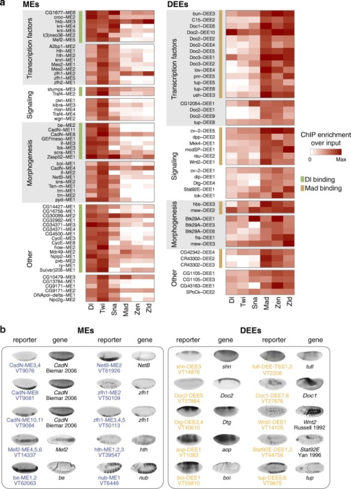 High-confidence DV enhancers identify novel DV target genes. a All MEs and DEEs that were confirmed by high occupancy of DV transcription factors and differential target gene expression by mRNA-seq. The occupancy of DV transcription factors Dl, Twi, Sna, Zen, Mad, and Zld is shown as a heatmap of normalized ChIP enrichment over input. The enhancers were categorized based on the function of their target genes (transcription factors, signaling, morphogenesis, other) and whether they have high occupancy of Dl, Mad (green and light brown bars, respectively), which indicates that they are likely direct targets of the signaling cascade. b A selection of MEs and DEEs that were confirmed by in vivo reporter expression of overlapping Vienna Tiles (VTs), which match the expression pattern of the assigned target gene. In situ hybridization images for VTs were obtained from Kvon et al. [39]. Unless noted otherwise, the in situ hybridization images for target genes are from the BDGP database [73–75]. The CadN expression pattern is by Biemar et al. [17], copyright (2006) National Academy of Sciences, USA; that of be is from Fly-FISH [76, 77] and was color-modified to resemble the black-and-white in situ hybridization images, reused with permission; that of Wnt2 is from Russell et al. [78] Copyright 1992 The Company of Biologists, and that of Stat92E is from Yan et al. [79], reprinted from Yan et al., Identification of a Stat gene that functions in Drosophila development. Cell, 84(3):421–430, Copyright 1996, with permission from Elsevier