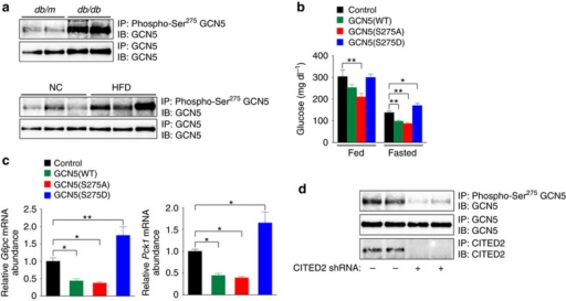 Suppression of hepatic GCN5 phosphorylation at Ser275 ameliorates diabetes.(a) Analysis of GCN5 phosphorylated at Ser275 in the liver of db/db or db/m (control) mice or of C57BL/6J mice fed NC or a HFD. All mice were deprived of food for 16 h before analysis. Liver extracts were subjected to IP with antibodies to Ser275-phosphorylated GCN5 followed by immunoblot analysis with antibodies to GCN5. (b,c) Effects of expression of GCN5(WT), GCN5(S275A) or GCN5(S275D) in the liver of db/db mice on plasma glucose concentration under fed or fasted (24 h) conditions (b) as well as on hepatic expression of G6pc and Pck1 under the fasted (24 h) condition (c). (d) Effect of CITED2 depletion on GCN5 phosphorylation at Ser275 in the liver of db/db mice deprived of food for 24 h. All quantitative data are means±s.e.m. (n=7 (b,c)). *P<0.05, **P<0.01 (ANOVA with Bonferroni's post hoc test). Data in a,d are representative of at least three independent experiments. Adenoviral vectors were used for these experiments. ANOVA, analysis of variance; NC, normal chow.
