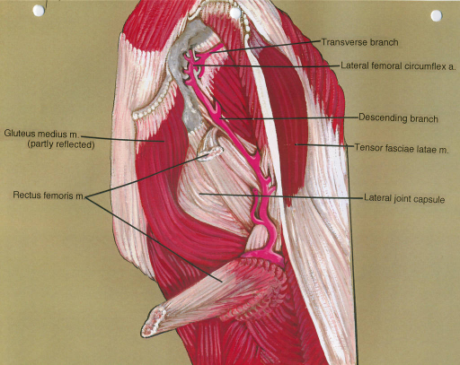 gluteus medius muscle; rectus femoris muscle; lateral femoral circumflex artery; tensor fasciae lata muscle; lateral joint capsule