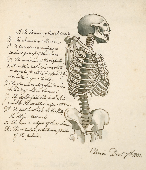 <p>Shows the bones forming the human skeleton, each labeled in handwritten English. Copied from The Medical adviser, n.s., 2 (1825), p. 5. The illustration is signed by Clorion with the date of Dec. 7, 1830. Clorion anatomical illustrations, fol. 27a.</p>