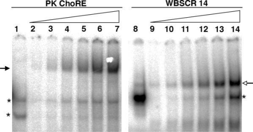 Comparison of binding of ChREBP/Mlx to oligonucleotides containing a single E box or the PK ChoRE. EMSA was performed with a probe containing the ChoRE of the PK gene, which consists of two E box-like motifs (5), or a probe containing only one perfect E box sequence (WBSCR14) (23). Sequences of these oligonucleotides are shown in Figure 2. Lanes 1 and 8 are controls with 5 μg of mock-transfected 293 whole cell extract. The remaining lanes are loaded with increasing amounts (0.5–5 μg) of whole cell extract from 293 cells co-expressing ChREBP and Mlx. The solid arrow indicates the slower migrating ChREBP/Mlx complex. The open arrow indicates the faster migrating ChREBP/Mlx complex. Asterisks denote background binding.