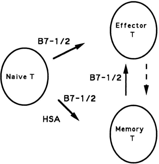 A model for the involvement of costimulatory signals in the  generation of effector and memory T cells. Two major products, effector  and memory T cells, are produced from naive T cells after viral infection.  The production of memory T cells requires costimulation by either HSA  or B7, while the production of effector T cells utilizes B7 but not HSA.  By definition, memory T cells give rise to effector T cells after further  stimulation by antigen. However, effector T cells are unlikely to be mandatory precursors for memory T cells and distinct costimulatory molecules  could be used at different phases of the immune response.