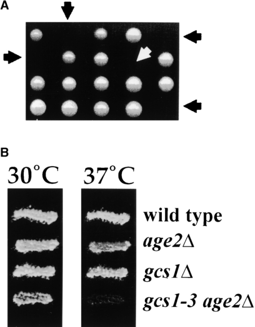 Absence of both Gcs1 and Age2 proteins is lethal. (A) A GCS1/gcs1::URA3 AGE2/ age2::HIS3 heterozygous diploid strain was sporulated, and haploid segregants from resulting asci were incubated on solid medium at 30°C to assess growth. Segregant colonies were also replica plated to selective media to assess genotypes. Arrows indicate the positions of gcs1::URA3 age2::HIS3 double-mutant segregants. (B) A GCS1/gcs1::URA3 AGE2/ age2::HIS3 heterozygous diploid strain containing plasmid pPP805-3, bearing the temperature-sensitive gcs1-3 allele, was sporulated, and the resulting segregants were assessed for growth at 30 and 37°C. Relevant genotypes are indicated.