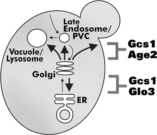 Vesicular transport stages mediated by ArfGAP pairs. Large arrows indicate vesicular transport pathways from the TGN mediated by the Gcs1 + Age2 ArfGAP pair and the retrograde Golgi-to-ER pathway mediated by the Gcs1 + Glo3 ArfGAP pair.