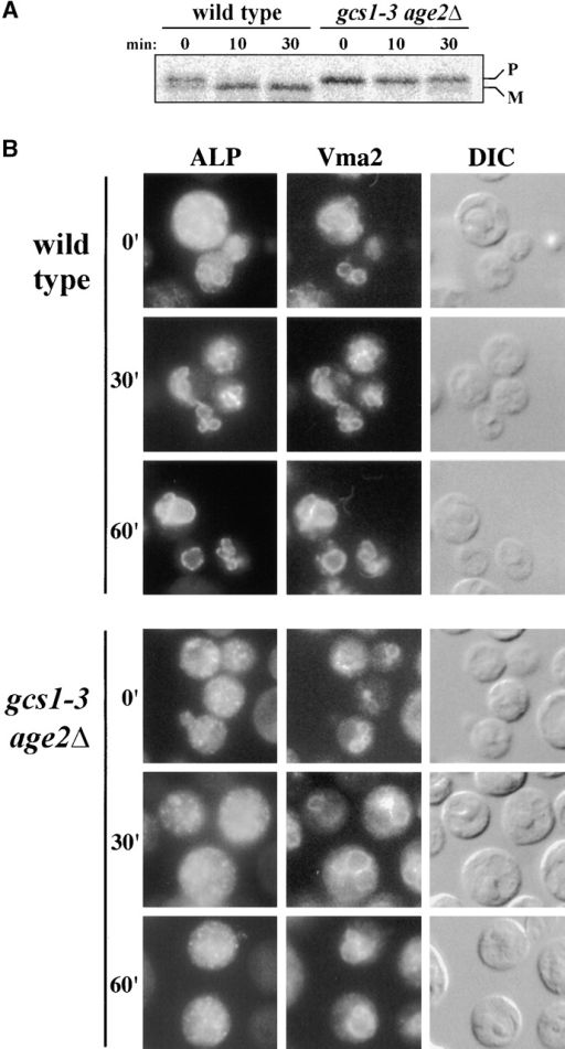 Transport of ALP to the vacuole is impaired in cells with inadequate Gcs1 + Age2 activity. (A) Cells growing at 26°C were incubated at 37°C for 15 min, exposed to radiolabeled amino acids for 7 min, and incubated further with unlabeled amino acids. ALP was immunoprecipitated from samples removed at the indicated times, resolved by SDS-PAGE, and detected by autoradiography. The precursor (P) and mature (M) forms are indicated. After 30 min, wild-type cells had >90% of ALP in the mature form, whereas double-mutant cells had 75% of ALP in the precursor form. (B) Cells carrying plasmid pSN351, harboring the ALP gene PHO8 expressed from the inducible GAL1 promoter, were grown at 23°C in raffinose medium and transferred to 37°C. After a 15-min incubation, ALP synthesis was induced by the addition of galactose. After a 40-min induction period, glucose was added to repress further GAL1-regulated ALP synthesis, and at times thereafter cells were processed for microscopy.