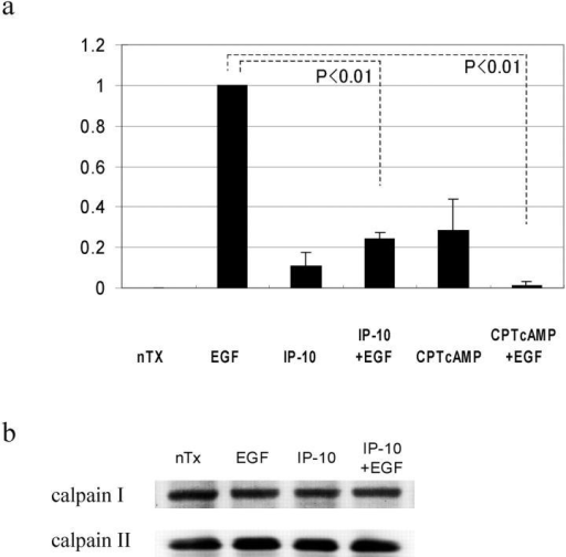 EGF-induced calpain activation. (a) Cells were grown to confluence in 10-cm tissue culture plates and quiesced for 48 h with DME containing 0.1% dialyzed FBS. Cells were treated with IP-10 (50 ng/ml) for 4 h or CPT-cAMP (20 μM) for 30 min before EGF (1 nM) for 30 min. Calpain activities were analyzed by measuring the elevation in fluorescence intensity that occurs upon calpainolytic digestion of dichlorotriazinylamino-fluorescein–labeled MAP2. The data are shown as a ratio to EGF-induced calpain activation. The data are the mean ± SEM of at least three independent studies. Statistical analyses were performed by Student's t test. (b) Cells were grown to confluence in 6-well tissue culture plates and quiesced for 48 h. Cells were treated with IP-10 (50 ng/ml) for 4 h before EGF (1 nM) for 30 min. Cell lysates were separated by SDS-PAGE, transferred to Immobilon-P (Millipore), and immunoblotted with an anti–calpain I or –calpain II antibody (Biomol).