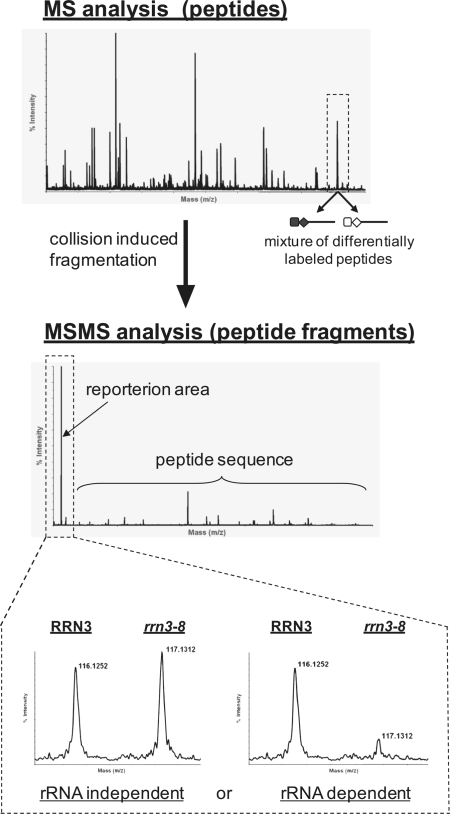 Schematic view of relative protein quantitation set up. A typical MS spectrum is shown, where each peak represents a mixture of sequence-identical but differentially iTRAQ-labelled peptides from affinity purifications of wild-type and rrn3-8 mutant strains. In the MSMS–mode peptides are selected for fragmentation, yielding in peptide fragments with sequence specific m/z ratios used for identification of the respective protein by database search. In addition the iTRAQ reporter ions of different masses are released and are used for relative quantitation and subsequent determination of pre-rRNA-dependent or pre-rRNA-independent co-purifications.
