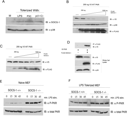 SOCS-1 physically interacts with and negatively regulates PKR. (A) Primary peritoneal macrophages were stimulated for 18 h with medium (M), LPS (10 ng/ml), P3C (100 ng/ml), or p(I ⋅ C) (10 µg/ml). Cells were harvested, and the levels of SOCS-1 protein were examined by Western analysis. (B and C) HEK293T cells were transfected with 200 ng V5-tagged WT PKR and either empty vector or an increasing amount of cDNA expressing FLAG-tagged SOCS-1 (B) or SOCS-2 (C). Twenty-four hours following transfection, whole-cell lysates were subjected to Western analysis with antibodies against the indicated species. (D) HEK293T cells transfected with V5-PKR alone or in conjunction with FLAG-tagged SOCS-1. Cell lysates were immunoprecipitated with anti-FLAG antibody and separated by SDS-PAGE, followed by Western blotting with the indicated antibodies. These data are representative of 3 independent experiments. (E and F) WT and SOCS-1−/− MEFs were cultured overnight in medium alone (E) or in medium supplemented with LPS (100 ng/ml) (F). Following 18 h of treatment, cells were washed and restimulated with LPS (250 ng/ml) for the indicated times. Whole-cell lysates were resolved by SDS-PAGE and probed with antibodies against phosphorylated or total PKR. These data are representative of 3 independent experiments.