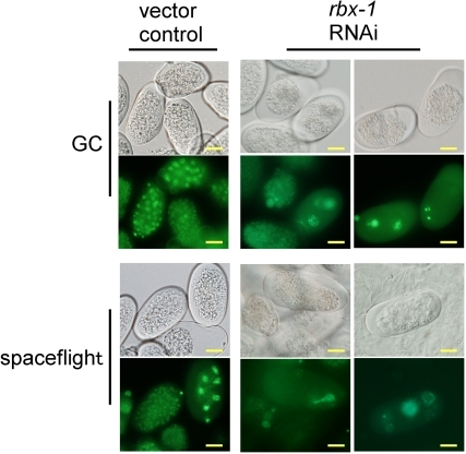 rbx-1 RNAi induces abnormal chromosomal GFP                            localisation in spaceflight and ground control (GC).Adult animals fed RNAi vector control from L1 larvae for 4 d produced                            normal eggs in GC and spaceflight, and display normal embryonic                            chromosomal GFP localisation in GC and spaceflight. RNAi against                                rbx-1 for 4 d caused abnormal embryo development in                            GC and spaceflight, and induced irregular embryonic nuclear segregation                            and arrest of meiotic division in both GC and spaceflight. Scale bars                            represent 10 µm.