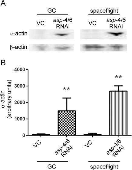 Degradation of α-actin is prevented by asp-4 and                                asp-6 RNAi in spaceflight and ground control                            (GC).Dauer animals treated for 4 d with RNAi vector control (VC) developed to                            adulthood. In both GC and spaceflight conditions animals displayed major                            loss of muscle specific α-actin following lysis in the absence of                            lysosomal protease inhibitors. Treatment with asp-4 and                                asp-6 RNAi for 4 d in GC and spaceflight resulted                            in a preservation of α-actin levels. A, representative immunoblot;                            B, average non-normalised quantification of three Western blots against                            α-actin. ** denotes significant difference from both GC and                            spaceflight VC conditions (P<0.01).