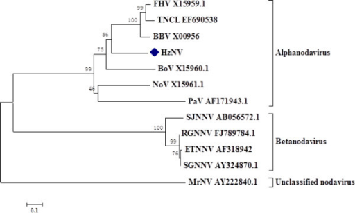 Phylogenetic tree of HzNV based on the sequence of the coat protein precursor. The predicted amino acids of the coat protein precursor were used to generate a phylogenetic tree by MEGA 4 software with the neighbor-joining method. The bootstrap equals 1,000 replications. The relevant GenBank accession numbers are indicated in the graph. FHV: flock house virus; BBV: Black beetle virus; BoV: Boolarra virus; NoV: Nodamura virus; PaV: Pariacoto virus; TNCL: Tn-5 drived nodavirus; SJNNV: Striped jack nervous necrosis virus; RGNNV: Red-spotted Grouper Nervous Necrosis Virus; ETNNV: Epinephelus tauvina nervous necrosis virus; SGNNV: sevenband grouper nervous necrosis virus; MrNV: Macrobrachium rosenbergii nodavirus.