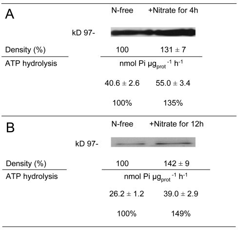 Hydrolytic-activity and western-blot analyses of PM H+-ATPase from cucumber roots (A) or leaves (B). The plants were treated as described in the legend of Figure 4. Data are means ± SD of three independent experiments with three replicates. Immunodetection of the enzyme isolated from the three independent experiments was performed using antibodies raised against the C-terminal part of the Arabidopsis AHA3 PM H+-ATPase. Blots of a representative experiment are shown.